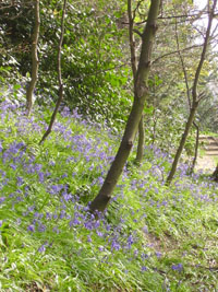 Bluebells in town Wood