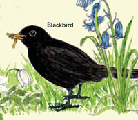 Artists drawing of a Blackbird which can be seen in Town Wood.