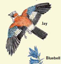 Artists drawing of a Jay which can be seen in Town Wood.