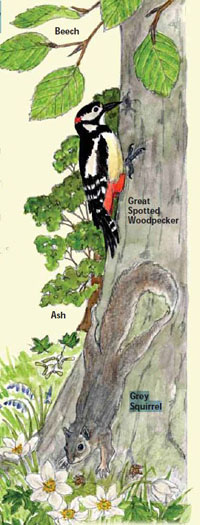 Artists drawing of some wildlife to be seen in Town Wood, includes a Woodpecker and Grey Squirrel on a Beech tree.